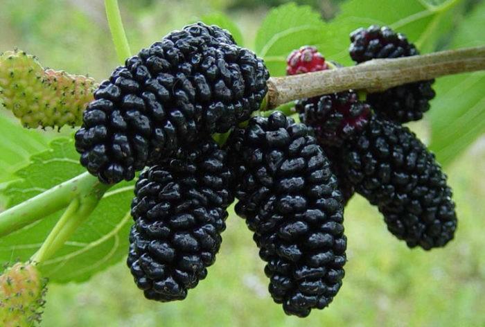 Это растение повсюду, но вы не знали, что оно может лечить опухоли, диабет и высокое кровяное давление